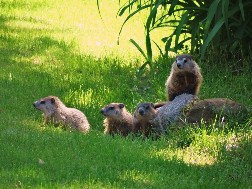 004-woodchuck-siblings