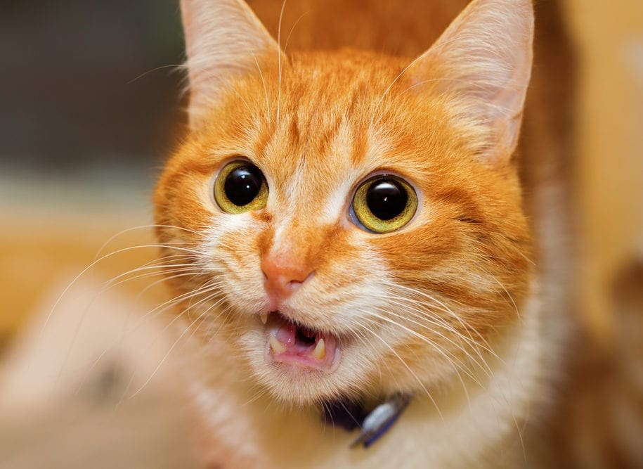 Ormekur til katte